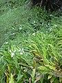 Starr-040713-0104-Hedychium coronarium-habit-Kopiliula-Maui (24620973981).jpg