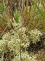 Starr-051122-5274-Anthoxanthum odoratum-habit with lichen-Haleakala Ranch-Maui (24849434515).jpg