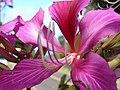 Starr-061109-1476-Bauhinia x blakeana-flower-Kokomo Rd Haiku-Maui (24775335551).jpg