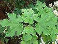 Starr-081230-0667-Montanoa hibiscifolia-leaves-Upper Kaulana-Kahoolawe (24809287732).jpg