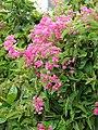 Starr-090417-6179-Antigonon leptopus-flowers and leaves-Pukalani-Maui (24858939451).jpg