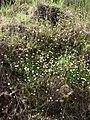Starr-090513-7551-Erigeron karvinskianus-flowering habit-Polipoli-Maui (24587094689).jpg