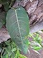 Starr-090813-4218-Ficus virens-leaves-Hawaiian Canoe Club Kahului-Maui (24676567580).jpg
