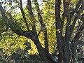 Starr-110209-0551-Carya illinoinensis-habit fall colors-MISC Piiholo-Maui (24955814152).jpg