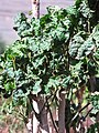 Starr-110209-0750-Polyscias guilfoylei-leaves-Resort Management Group Nursery Kihei-Maui (24778937790).jpg
