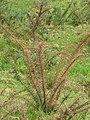 Starr-110301-1759-Ulex europaeus-spontaneous death-Piiholo-Maui (25076987945).jpg