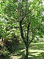 Starr-110330-3833-Annona muricata-habit-Garden of Eden Keanae-Maui (24785198420).jpg