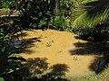 Starr-110330-4142-Colocasia esculenta-habit in pond-Garden of Eden Keanae-Maui (24963143072).jpg