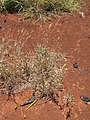 Starr-110412-5121-Sida rhombifolia-flowering habit-Kahana West Maui-Maui (25082768925).jpg