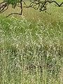 Starr-110502-5264-Bromus diandrus-seedheads-Kula-Maui (24726403149).jpg