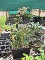 Starr-110621-6252-Vaccinium hybrid-Southern highbush cv Sunshine potted plant-Hawea Pl Olinda-Maui (25070928236).jpg
