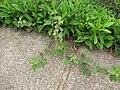 Starr-110722-7161-Urena lobata-habit-Waihee Ridge Trail-Maui (24804962130).jpg