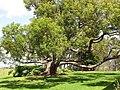 Starr-120510-5679-Cinnamomum camphora-habit in yard-Ka Hale Olinda-Maui (24846742060).jpg