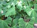 Starr-120522-6009-Anthurium sp-habit-Iao Tropical Gardens of Maui-Maui (25115649166).jpg