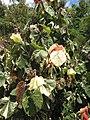 Starr-120614-7422-Hibiscus tiliaceus-variegated habit-Waihee Coastal Preserve-Maui (24777963099).jpg