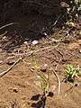 Starr-130320-3386-Cyanthillium cinereum-flowering habit-Nihoku Mokolea Pt Kilauea Pt NWR-Kauai (24841441949).jpg