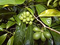 Starr-140909-1700-Artabotrys hexapetalus-leaves and fruit-Wailua-Maui (24615098074).jpg