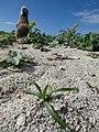 Starr-150401-0104-Cyperus rotundus-habit and Laysan Albatross chick-Frigate Pt Sand Island-Midway Atoll (24904530759).jpg