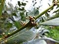 Starr-150811-0527-Laurus nobilis-leaves buds-Enchanting Floral Gardens of Kula-Maui (24927959119).jpg