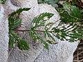 Starr-170225-0064-Rubus niveus-leaf chewing biocontrol-Lower Waiohuli Trail Polipoli-Maui (32538320564).jpg