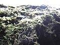 Starr-170304-7194-Pteris cretica-habitat with moss on wall-Lower Waiohuli Trail Polipoli-Maui (32540262804).jpg