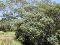 Starr 010715-0038 Ficus cf. platypoda.jpg