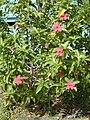 Starr 011104-0028 Hibiscus kokio subsp. kokio.jpg