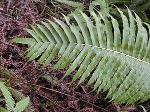 Christella cyatheoides - Maui, Hawaii