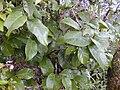 Starr 020925-0036 Antidesma platyphyllum.jpg