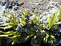 Starr 030222-0101 Lepisorus thunbergianus.jpg