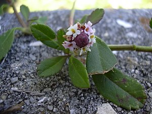 Phyla (genus) - Turkey tangle (P. nodiflora) with inflorescence