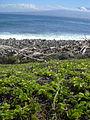 Starr 031127-0063 Jacquemontia ovalifolia subsp. sandwicensis.jpg