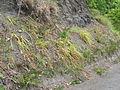 Starr 050517-1575 Cyperus phleoides.jpg