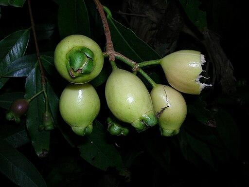 Starr 050818-4168 Syzygium jambos