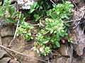 Starr 060405-9145 Polycarpon tetraphyllum.jpg