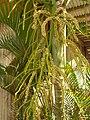 Starr 060922-9185 Chrysalidocarpus lutescens.jpg