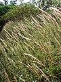 Starr 061212-2292 Melinis minutiflora.jpg
