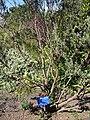 Starr 071024-0020 Leucophyllum frutescens.jpg