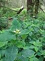 Starr 080608-7726 Euphorbia cyathophora.jpg