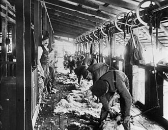 The Wolseley Sheep Shearing Machine Company - Image: State Lib Qld 1 67991 Shearing at the woolshed at Jimbour Station, ca. 1895