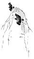 Steenarend Aquila chrysaetos Jos Zwarts.tif