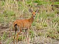Steenbok (Raphicerus campestris) female (11687605993).jpg