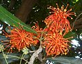 Stenocarpus sinuatus, skerms, Manie van der Schijff BT, c.jpg