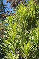 Stenocarpus sinuatus - Leaning Pine Arboretum - DSC05478.JPG