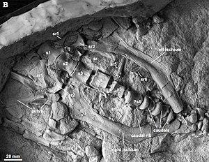 Stenopelix - Cast of the pelvic region