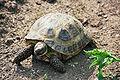 Steppenschildkröte (2) 2006-07.JPG