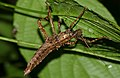 Stick Insect (Haaniella sp.) (22728506499).jpg