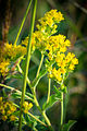 Stiff-leaved Goldenrod (Solidago rigida) (21143130290).jpg