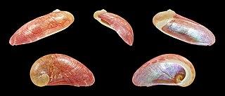 <i>Stomatella impertusa</i> Species of gastropod