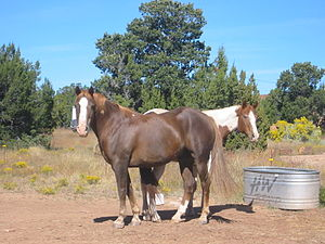 Grade horse - These horses are unregistered Quarter/Paint crosses